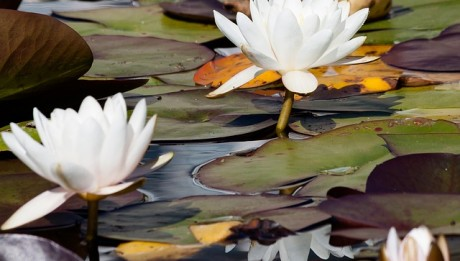 water-lilies-455233_640