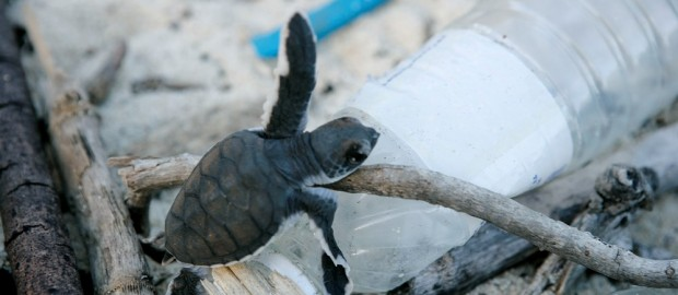 Baby turtles hatch on Juani Island and have to climb over rubbish strewn on the beach .  WWF is actively engaged in maximising the conservation of turtles here by employing Nassoro Shahame since 2001 as the village turtle monitoring officer. Nassoro is paid the equivalent of US$ 30 a month to be a point of contact for the village for turtles as well as to monitor and help baby turtles hatch to the sea.  Two species of turtle nest on Mafia, mostly greens (Chelonia mydas) and and few hawksbills (Eretmochelys imbricata). There is nesting throughout the year but mostly December to May. The incubation period is 55 days. When the locals find a nest and report it to Nassoro they receive 3,000 TSh. When that nest hatches they get additional money – US 40 cents per hatchling, as there are about 100 eggs in each nest that is 4,000 TSh.  Nassoro released 20 baby turtles yesterday and 20 today. As they are located above the high water mark when a nest is ready to hatch he will clear a path through the flotsam and jetsam giving the baby turtles a clear run. He lovingly digs out each turtle, helping them struggle out of the sand and down to the sea. Then it is down to them. But even this type of action can help improve the turtles chances of surviving by around 20 per cent.  Like a proud parent Nassoro has kept a record of all the turtles he has released but there have been too many for him to keep a total. This year there have been 74 nests and the numbers are increasing year on year. A sure sign that their numbers are increasing are the complaints from seaweed farmers about turtles eating their crop.   There is an increasing incidence of hotels raiding the nests and moving the eggs to a new site closer to their hotels as a tourist attraction. Tourists pay for a certificate and money goes towards turtle conservation.  There are other nesting sites along the coast and on the nearby island of Jibondo they still eat turtles and their eggs - which are traditional food.
